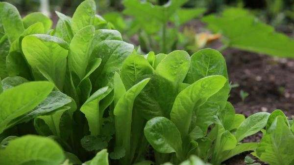 Lettuce Garden Rights-managed stock video