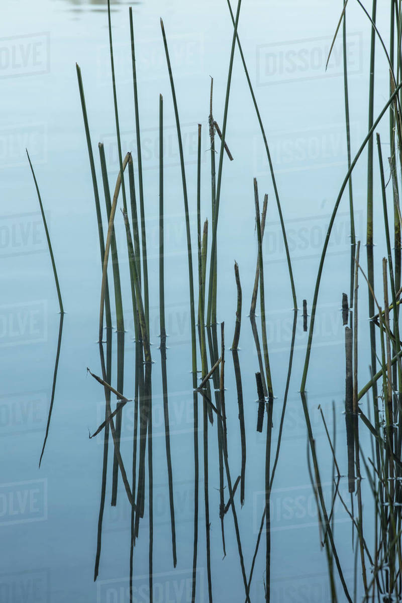 Tall grass in calm water along the shore line of Liberty Lake, Washington. Royalty-free stock photo