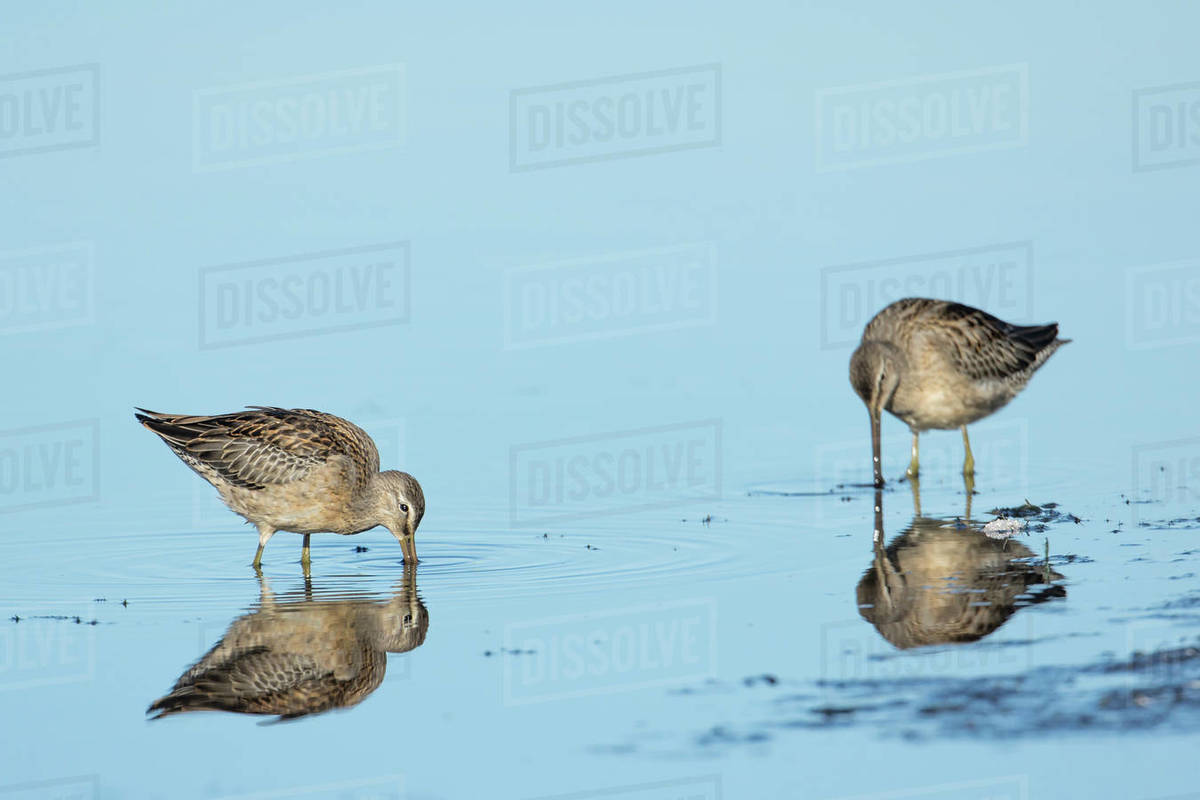 Two long billed dowitchers. digging for food in shallow water near Liberty Lake, Washington. Royalty-free stock photo