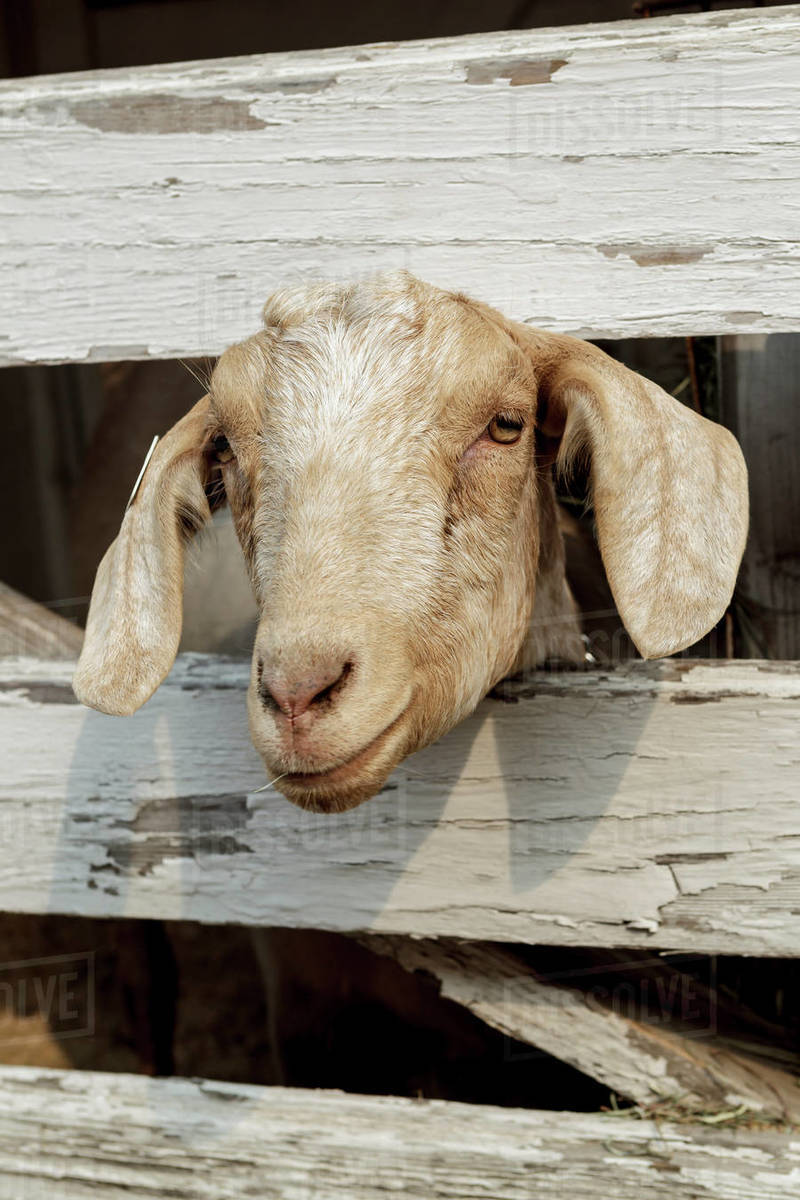 A close up of a cute goat with its head peering through the wooden fence in north Idaho. Royalty-free stock photo