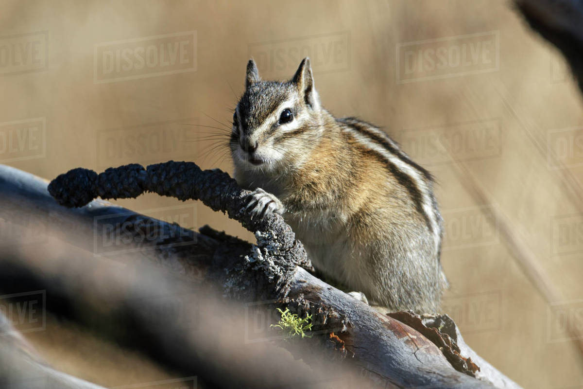 A small chipmunk is on a branch behind other branches at the Turnbull wildlife refuge in Cheney, Washington. Royalty-free stock photo
