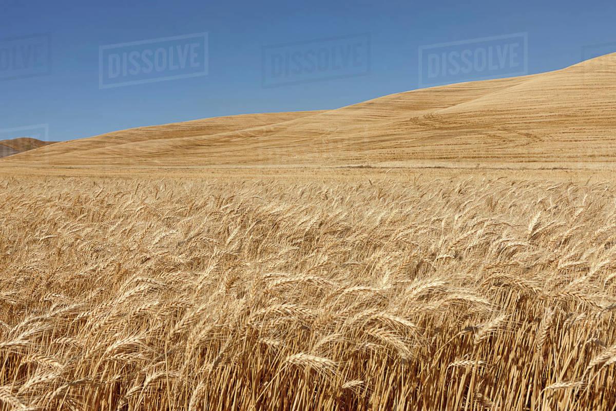 A field of wheat under a bright blue sky near Colfax, Washington Royalty-free stock photo