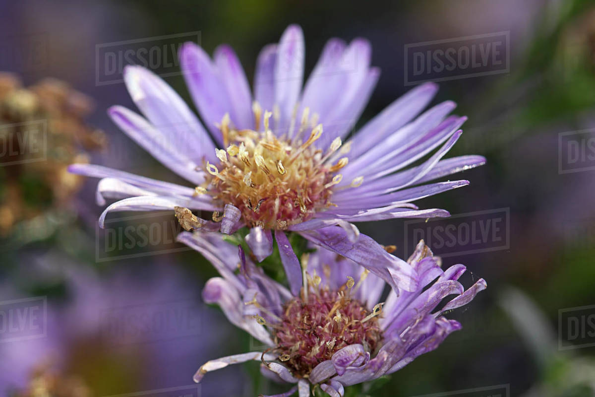 A close up of Aster flowers at the arboretum at Manito Park in Spokane, Washington Royalty-free stock photo