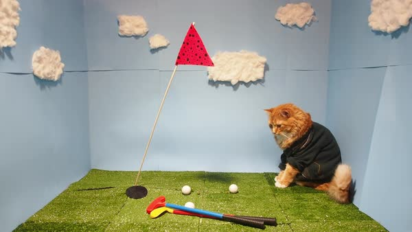 Golf cat inspects his clubs and balls on the golf course Royalty-free stock video