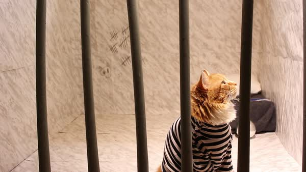 Jail cat sits behind bars and contemplates what he's done Royalty-free stock video