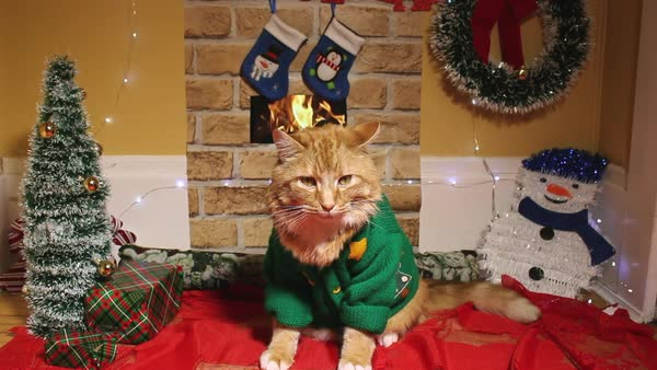 Christmas cat sits impatiently in a living room by a fireplace and Christmas tree Royalty-free stock video