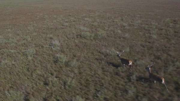 Aerial view of two male deers running over bush. Royalty-free stock video