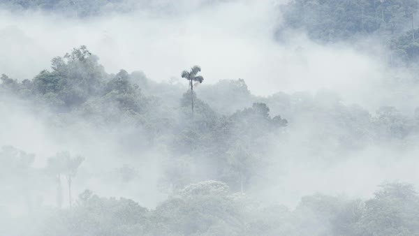 Morning mist over the Alto Coca cloudforest, Ecuador. Rights-managed stock video