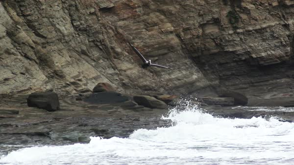 High-speed view of pelican (Pelecanus occidentalis) flying in front of the cliffs on the coast of Piqueros beach, Ecuador. Rights-managed stock video