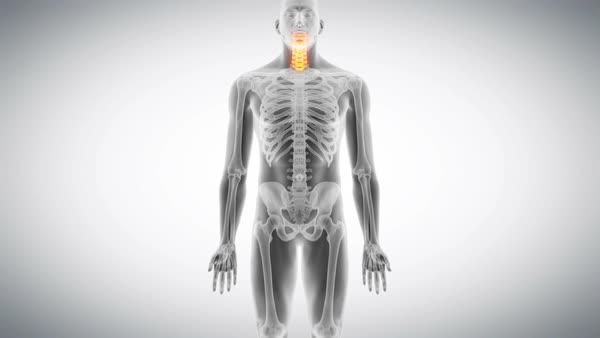 Human spine, animation. - Stock Video Footage - Dissolve