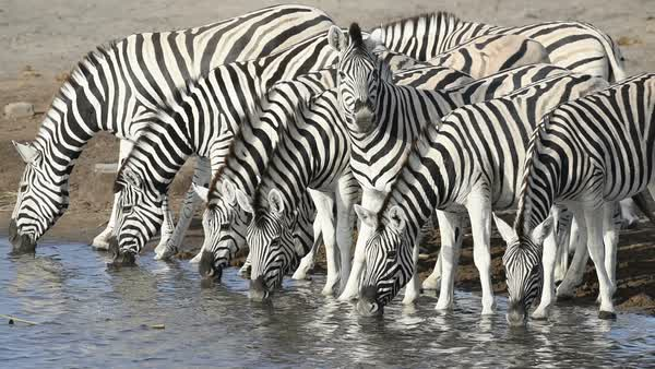 Burchell's zebra herd (Equus burchelli) drinking at the Chudop waterhole. Rights-managed stock video