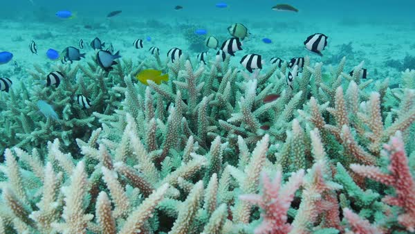 Assorted reef fish sheltering near a coral (Acropora sp Royalty-free stock video