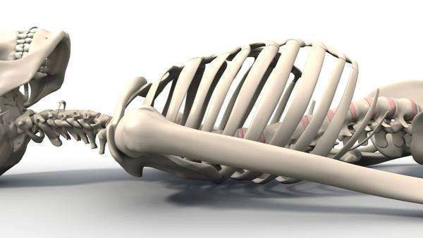 skeleton lying down, animation - stock video footage - dissolve, Skeleton