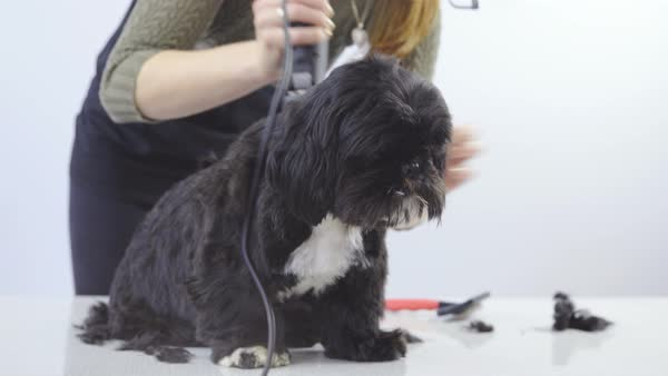 Woman grooming dog's hair with clippers Royalty-free stock video