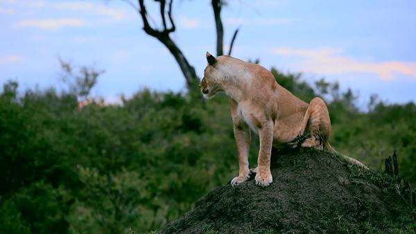 Locked off shot of a lioness sitting on an ant hill Royalty-free stock video