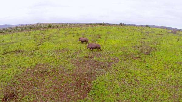 Aerial shot of two rhinos at Phinda Private Game Reserve Rights-managed stock video
