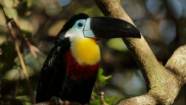 Handheld of a Aracari Rights-managed stock video