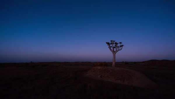 Linear and pan timelapse of a silhouetted Quiver Tree at sunset against a starry night sky as the moon rises over the landscape Royalty-free stock video