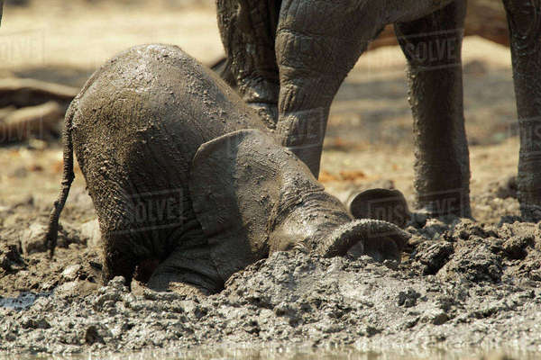 Baby elephant having a mud bath, Mana Pools, Zimbabwe Royalty-free stock photo
