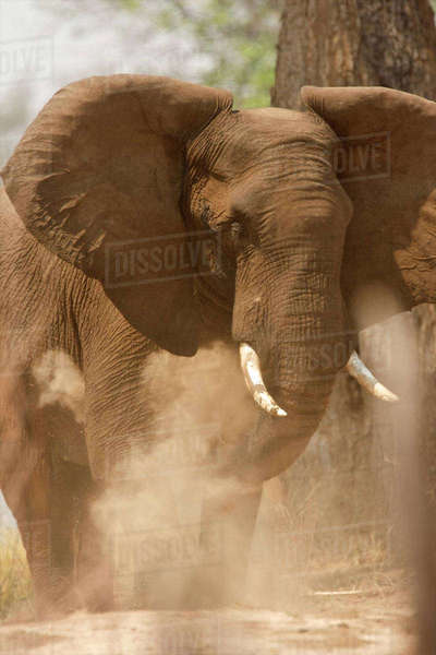 African elephant having a dust bath, Mana Pools, Zimbabwe Royalty-free stock photo