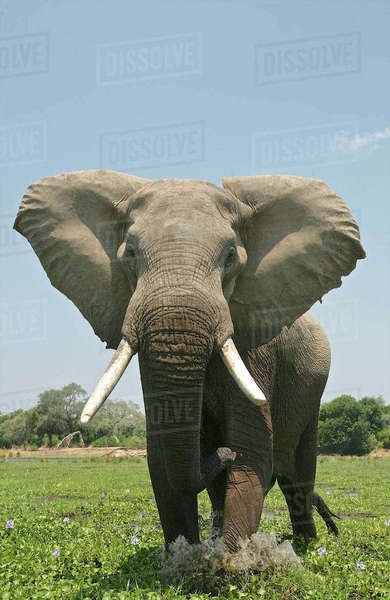 Portrait of an elephant in Mana Pools, Zimbabwe Royalty-free stock photo