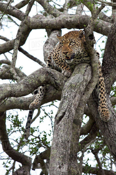 Leopard relaxing up in a tree, Tamboti, South Africa Royalty-free stock photo