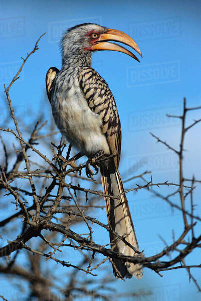 Yellow-Billed Hornbill, Kruger National Park, South Africa Rights-managed stock photo