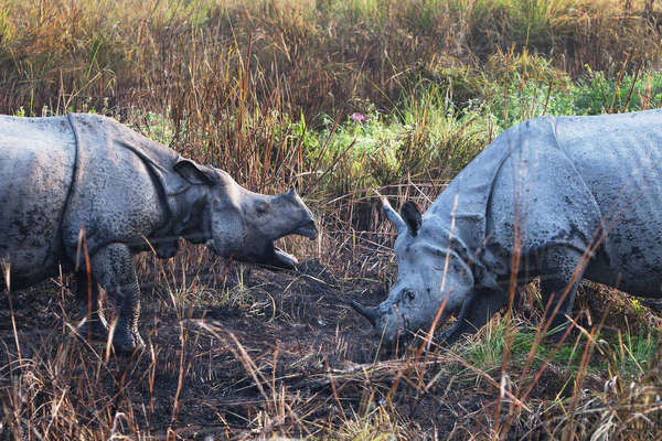 One-horned rhinoceroses, Kaziranga National Park, Assam, India Royalty-free stock photo