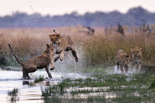 Pride of lions bonding and playing in the Savuti Marsh, Chobe National Park, Botswana Royalty-free stock photo