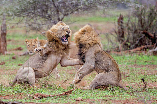 Two male lions fight over a lioness in the Kruger National Park Royalty-free stock photo