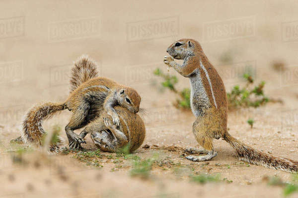 Two squirrels, spurred on by a third companion, quarrel in the Kgalagadi Transfrontier Park Royalty-free stock photo