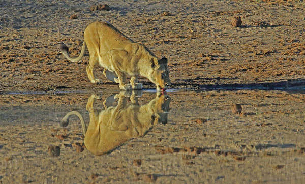 Lioness reflection Royalty-free stock photo