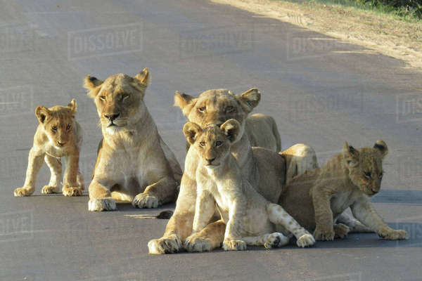 Lionesses lying with their cubs Royalty-free stock photo