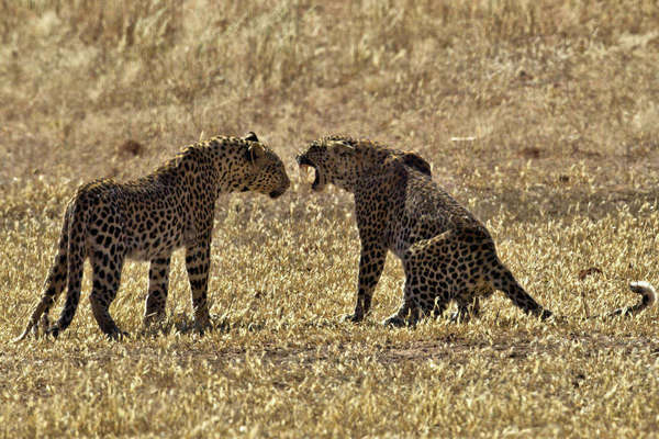 Leopards fighting Royalty-free stock photo