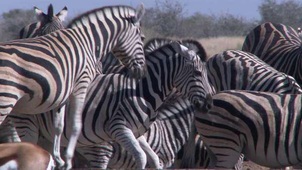 Medium long shot of herd of zebra and springbok, Namibia Rights-managed stock video