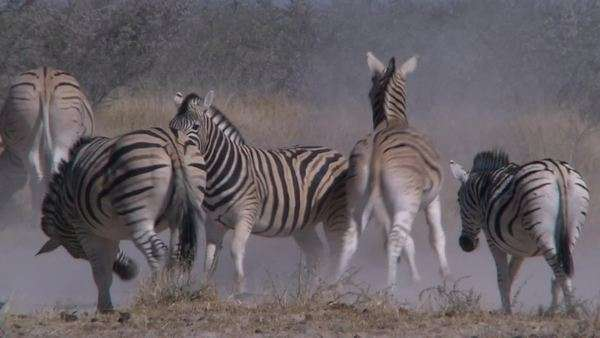 Long shot of two zebras sparring / fighting within the herd, Namibia Rights-managed stock video