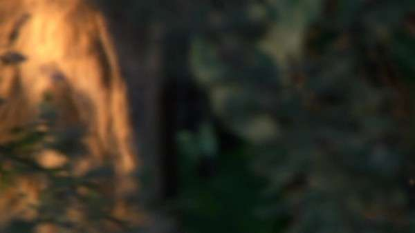 Medium close up of a lioness walking through thick bush, under trees Rights-managed stock video