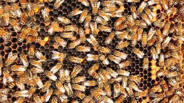 Honey bees crawl all over and work on their honey-comb Royalty-free stock video