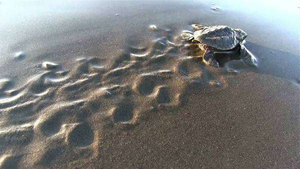 Baby sea turtles struggle to the ocean to safety. Royalty-free stock video
