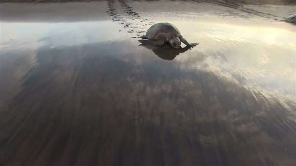 Olive Ridley sea turtle crawls up a beautiful beach to lay eggs. Royalty-free stock video