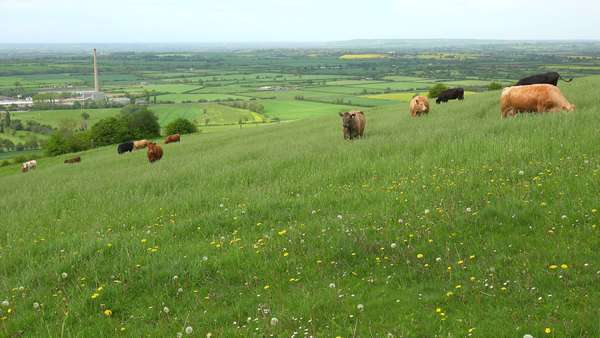 Cows graze on a hillside above terraced green fields in Great Britain. Royalty-free stock video
