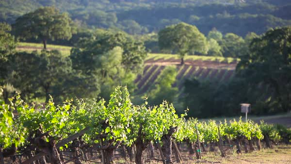 Pleasant shot across the Napa Valley wine growing region. Royalty-free stock video