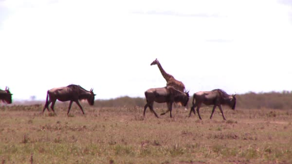 A giraffe crosses a golden savannah in Africa with wildebeest in foreground. Royalty-free stock video