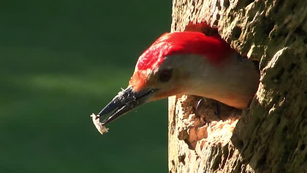 Beautiful shot of a red bellied woodpecker arriving at its nest in a tree and feeding its young. Royalty-free stock video