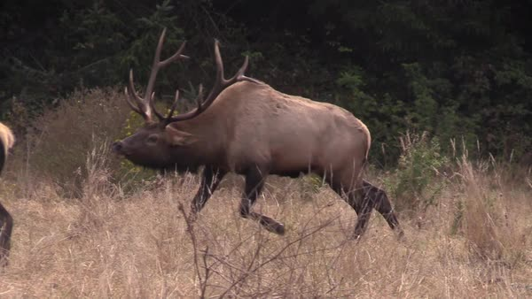 Elk walk through a clearing. Royalty-free stock video