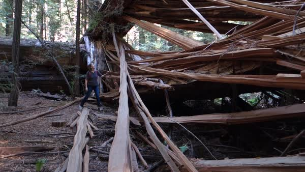 A person walks around a massive tree which has fallen in the forest. Royalty-free stock video