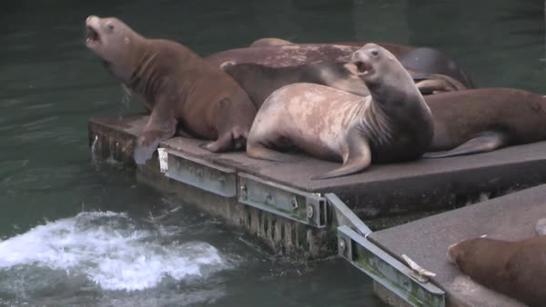 Sea lions lounge on a pier. Royalty-free stock video