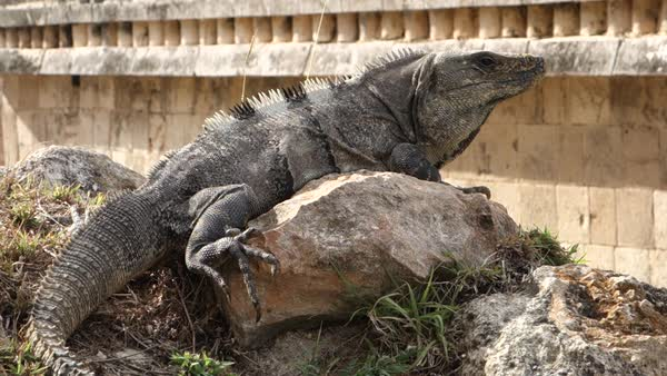 Close up shot of an iguana sitting on a rock. Royalty-free stock video