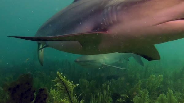 A reef shark swims through a coral reef in the Caribbean. Royalty-free stock video