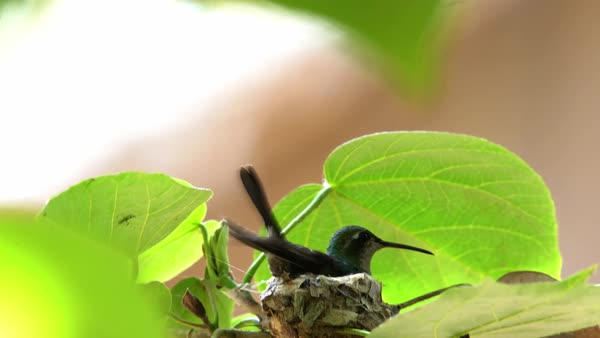 A Cuban emerald hummingbird female lands on her nest. Royalty-free stock video